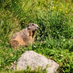 Marmotte, au pied du Montfol