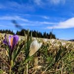 Féérie de printemps dans les prairies d'altitude