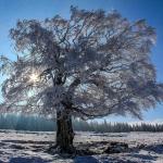Hêtre sculpté par la neige et le vent